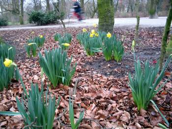 Bloeiende narcissen in januari